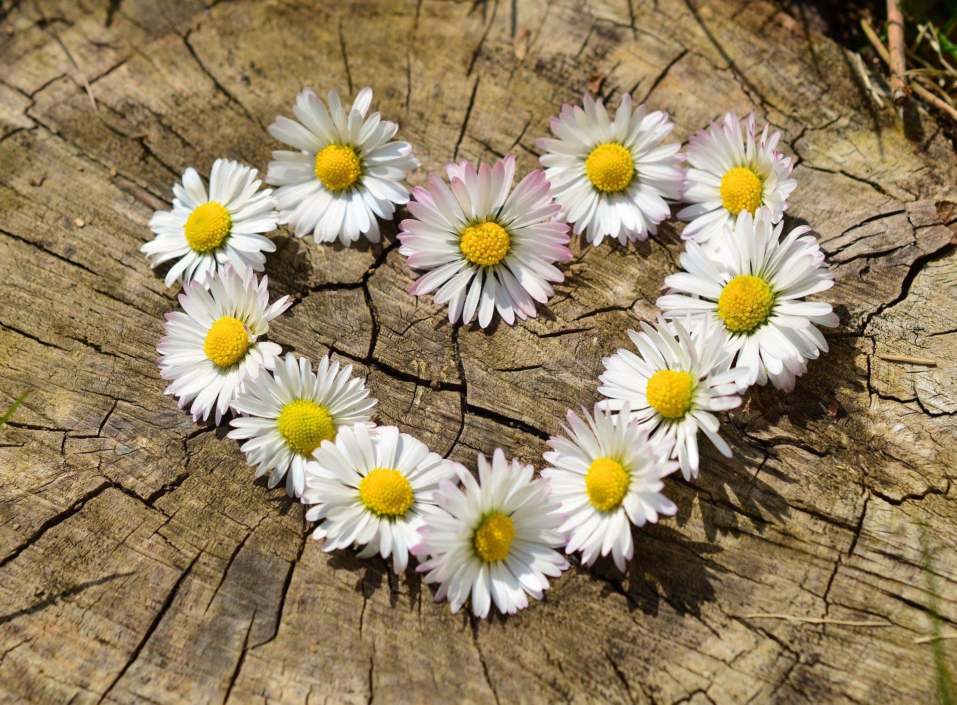 Ein Herz aus Gänseblümchen auf einem Baumstamm